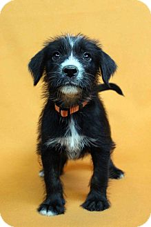 Blue Heeler/Terrier (Unknown Type, Medium) Mix Puppy for adoption in Westminster, Colorado - INGA