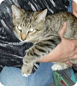 Domestic Shorthair Cat for adoption in Huntington, West Virginia - Brutus