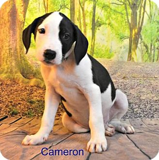 Pit Bull Terrier/Hound (Unknown Type) Mix Puppy for adoption in Yreka, California - Cameron