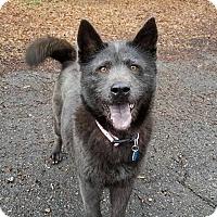 Adopt A Pet :: Shugga - Shelburne, VT