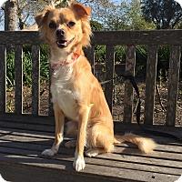 Adopt A Pet :: Scamp - Mission Viejo, CA