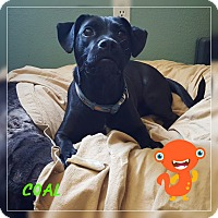 Labrador Retriever/Beagle Mix Dog for adoption in Victorville, California - Cole