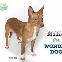Chihuahua Dog for adoption in Camarillo, California - MIKE