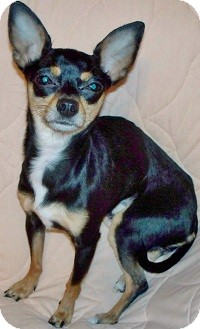 Chihuahua Mix Dog for adoption in AUSTIN, Texas - GRACIE