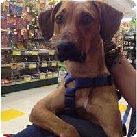 Adopt A Pet :: Yankee - Grand Rapids, MI