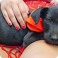 Adopt A Pet :: Anabelle sweety - Sacramento, CA