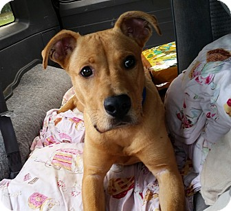 Labrador Retriever/Pit Bull Terrier Mix Puppy for adoption in nashville, Tennessee - Lex