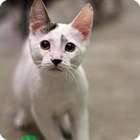 Adopt A Pet :: Sir Barton - Sacramento, CA