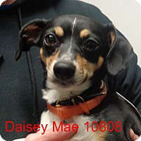 Adopt A Pet :: Daisey Mae - baltimore, MD