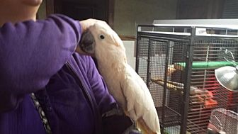 Cockatoo for adoption in Blairstown, New Jersey - Tully - moluccan