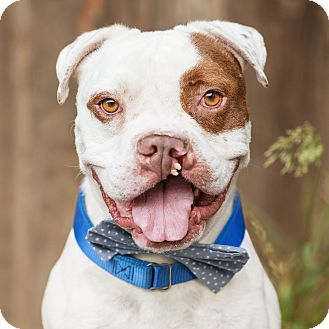 American Bulldog/Boxer Mix Dog for adoption in Los Angeles, California - Sir Clifton *courtesy listing