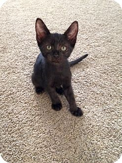 Domestic Shorthair Kitten for adoption in Temecula, California - Ross