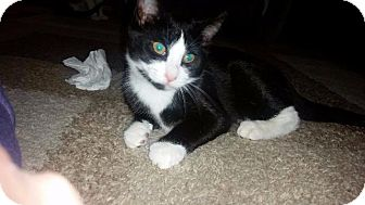 Domestic Shorthair Cat for adoption in Freeport, New York - Marty