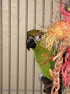 Conure for adoption in Punta Gorda, Florida - Trabella