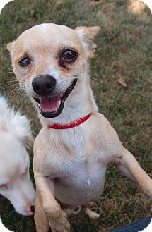 Chihuahua Dog for adoption in Spring City, Tennessee - Elliot: Loves Attention (PA)