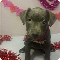 Adopt A Pet :: Confetti-Adopted! - Detroit, MI