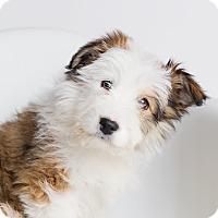 Adopt A Pet :: Viscerys - Ogden, UT
