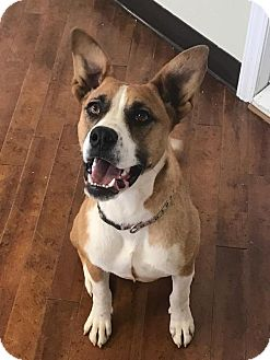 Boxer/Bloodhound Mix Dog for adoption in Charlotte, North Carolina - Bonnie