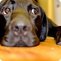Adopt A Pet :: Whiskey - Upper Marlboro, MD