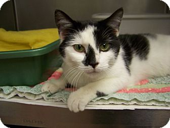 Domestic Shorthair Cat for adoption in Dover, Ohio - Libby