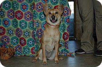 Basenji Mix Dog for adoption in San Antonio, Texas - Sugar