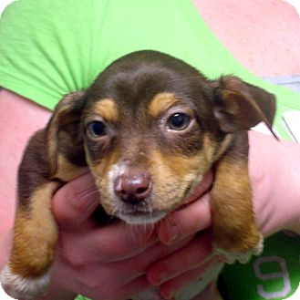 Beagle/Feist Mix Puppy for adoption in Greencastle, North Carolina - Cleavon