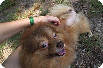 Pomeranian Mix Dog for adoption in Waldorf, Maryland - Logan