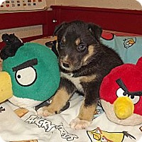 Adopt A Pet :: Husky/Shepherd Puppies - Phoenix, AZ