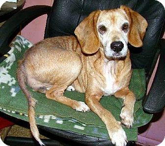 Beagle Mix Dog for adoption in Transfer, Pennsylvania - Myrtle