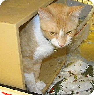 Domestic Shorthair Cat for adoption in Miami, Florida - Felix