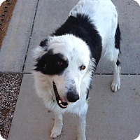 Adopt A Pet :: Molly - Cedar City, UT