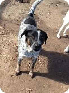 German Shorthaired Pointer Mix Dog for adoption in Quinlan, Texas - Jump