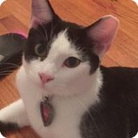 British Shorthair Cat for adoption in Miami, Florida - Pinto