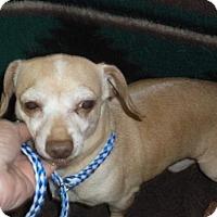 Dachshund/Chihuahua Mix Dog for adoption in Bonifay, Florida - Pinky