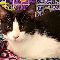 American Shorthair Kitten for adoption in Lyons, Illinois - Feya