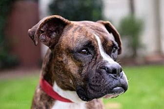 Boxer Dog for adoption in Santa Monica, California - Kelli