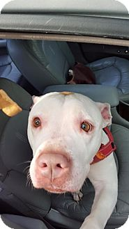 Pit Bull Terrier Mix Dog for adoption in Valley Stream, New York - China