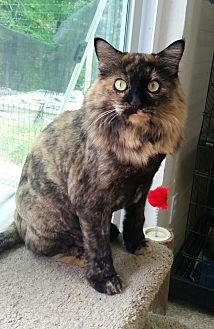 Domestic Longhair Cat for adoption in Washingtonville, New York - Rosie