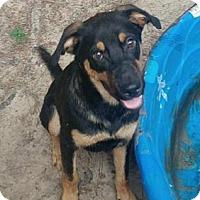 Shepherd (Unknown Type)/Rottweiler Mix Puppy for adoption in Houston, Texas - Blaze