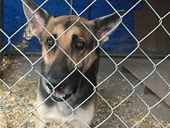 German Shepherd Dog Dog for adoption in Del Rio, Texas - Marshal