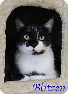 Domestic Shorthair Cat for adoption in Bradenton, Florida - Blitzen