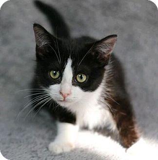 Domestic Shorthair Cat for adoption in Raleigh, North Carolina - Ikora