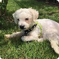 Adopt A Pet :: Pesto - Columbus, IN