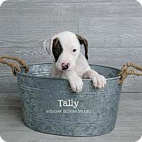 Adopt A Pet :: Tally - Denver, CO