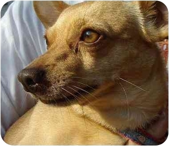 Chihuahua Mix Dog for adoption in Los Angeles, California - Patty