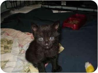 Domestic Shorthair Kitten for adoption in Morris, Pennsylvania - Ashley