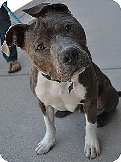 Pit Bull Terrier Dog for adoption in Dallas, Georgia - Jiggy