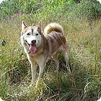Adopt A Pet :: Lulu - Redmond, WA
