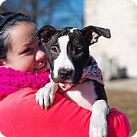 Adopt A Pet :: Carlie - Reisterstown, MD