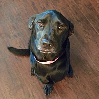 Labrador Retriever Mix Dog for adoption in Beaumont, Texas - MOLLY